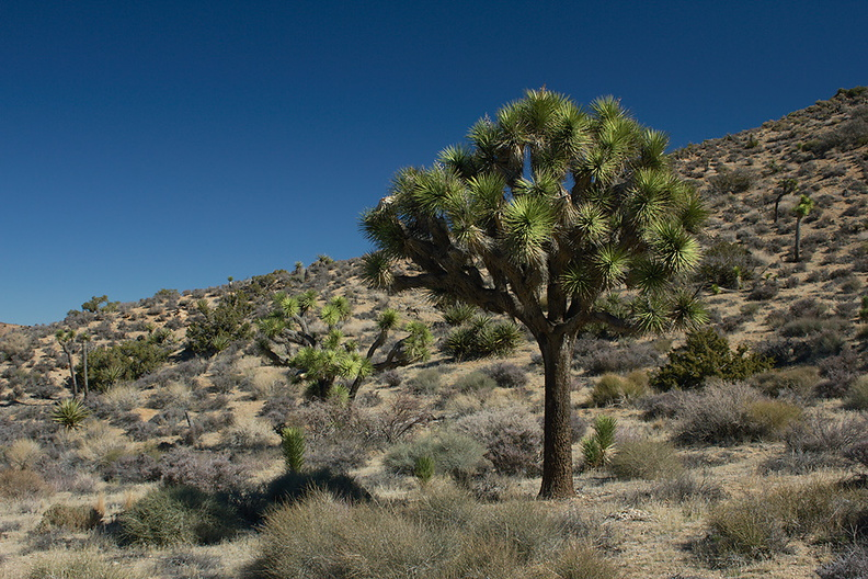 Yucca-brevifolia-Joshua-tree-High-View-loop-Black-Rock-Joshua-Tree-2013-02-17-IMG_7468.jpg