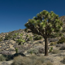 Yucca-brevifolia-Joshua-tree-High-View-loop-Black-Rock-Joshua-Tree-2013-02-17-IMG 7468