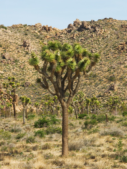 Yucca-brevilfolia-symmetrically-divaricating-joshua-tree-north-Joshua-Tree-2010-04-17-IMG_0310.jpg
