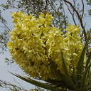Yucca-schidigera-flowering-Mohave-yucca-transition-zone-Joshua-Tree-2010-04-17-IMG 0355