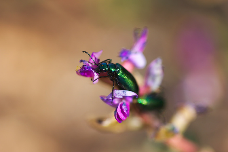 beetles-iridescent-green-on-Astragalus-north-Joshua-Tree-2010-04-17-IMG 0319
