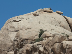 bighorn-sheep-Ovis-canadensis-on-rock-mountains-of-Hidden-Valley-Joshua-Tree-2012-06-30-IMG 5549