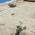 bighorn-sheep-Ovis-canadensis-on-rock-mountains-of-Hidden-Valley-Joshua-Tree-2012-06-30-IMG 5561