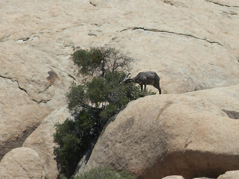 bighorn-sheep-Ovis-canadensis-on-rock-mountains-of-Hidden-Valley-Joshua-Tree-2012-06-30-IMG_5580.jpg