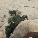 bighorn-sheep-Ovis-canadensis-on-rock-mountains-of-Hidden-Valley-Joshua-Tree-2012-06-30-IMG 5580