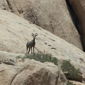 bighorn-sheep-Ovis-canadensis-on-rock-mountains-of-Hidden-Valley-Joshua-Tree-2012-06-30-IMG 5580 v2