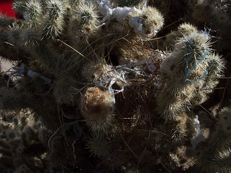 cactus-wren-nest-at-motel-Campylorhynchus-brunneicapellus-in-Yucca-Valley-Joshua-Tree-2012-03-16-IMG_1332.jpg