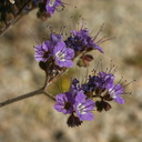 phacelia-affinis-purple-bell-cottonwood-springs-rd-2008-03-28-img 6600