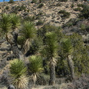 scrub-oak-Joshua-tree-juniper-community-High-View-loop-Black-Rock-Joshua-Tree-2013-02-17-IMG 7462