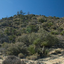scrub-oak-Joshua-tree-juniper-community-High-View-loop-Black-Rock-Joshua-Tree-2013-02-17-IMG 7463
