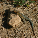 side-blotched-lizard-uta-stansburiana-cottonwood-springs-2008-03-29-img 6639