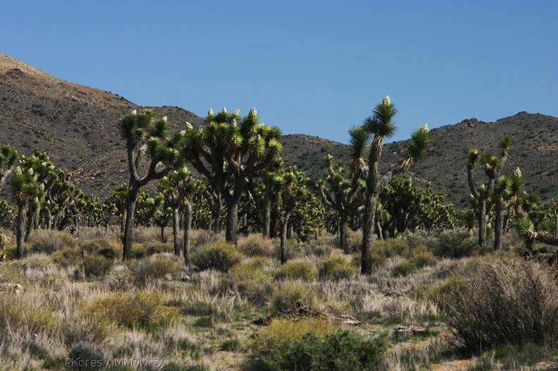 yucca-brevifolia-joshua-trees-landscape-geology-road-area-2008-03-29-img_6819.jpg