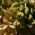yucca-brevilfolia-joshua-tree-flowers-top-of-cottonwood-springs-rd-2008-03-28-img 6631
