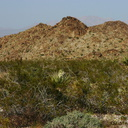 yucca-schidigera-landscape-mojave-yucca-cottonwood-springs-rd-2008-03-28-img 6650