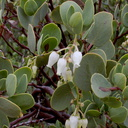 Arctostaphylos-glauca-big-berry-manzanita-Hidden-Valley-trail-Joshua-Tree-NP-2016-03-05-IMG 6583