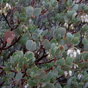 Arctostaphylos-glauca-big-berry-manzanita-Hidden-Valley-trail-Joshua-Tree-NP-2016-03-05-IMG 6585