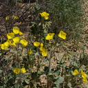 Camissonia-brevipes-golden-suncup-Cottonwood-Spring-Joshua-Tree-NP-2017-03-14-IMG 7403