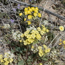 Camissonia-campestris-Mojave-suncup-Pinto-Mtn-area-2017-03-15-IMG 3979