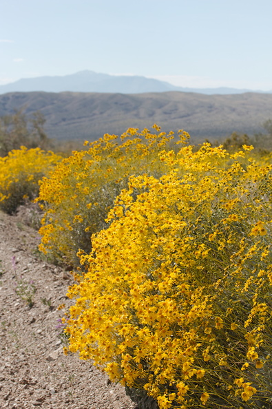 Encelia-farinosa-brittlebush-along-Box-Canyon-Rd-S-of-Joshua-Tree-NP-2018-03-15-IMG_4045.jpg