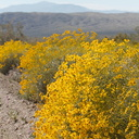 Encelia-farinosa-brittlebush-along-Box-Canyon-Rd-S-of-Joshua-Tree-NP-2018-03-15-IMG 4045