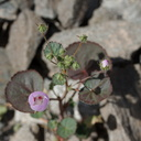 Eremalche-rotundifolia-fivespot-Box-Canyon-Rd-S-of-Joshua-Tree-NP-2018-03-15-IMG 4033