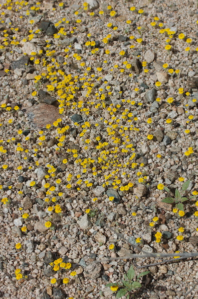 Eriophyllum-wallacei-woolly-daisy-Pinto-Basin-Rd-N-of-pass-Joshua-Tree-NP-2018-03-15-IMG_3986.jpg