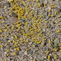 Eriophyllum-wallacei-woolly-daisy-Pinto-Basin-Rd-N-of-pass-Joshua-Tree-NP-2018-03-15-IMG 3986