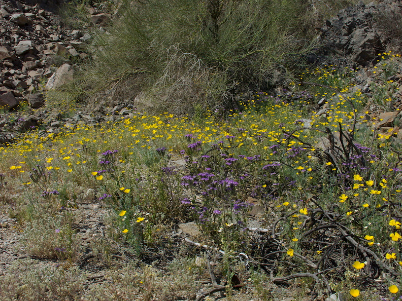 Eschscholzia-glyptosperma-Phacelia-crenulata-wildflowers-Box-Canyon-Rd-S-of-Joshua-Tree-NP-2018-03-15-IMG 7571
