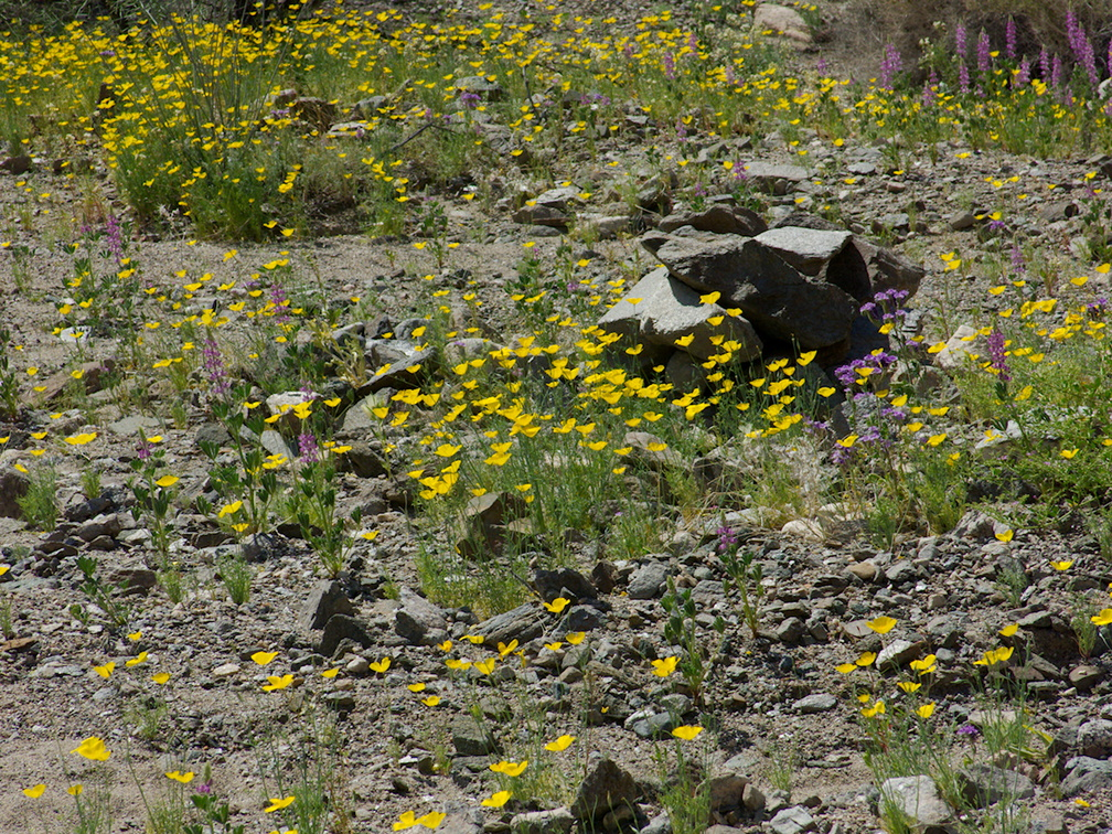 Eschscholzia-glyptosperma-Phacelia-crenulata-wildflowers-Box-Canyon-Rd-S-of-Joshua-Tree-NP-2018-03-15-IMG 7574