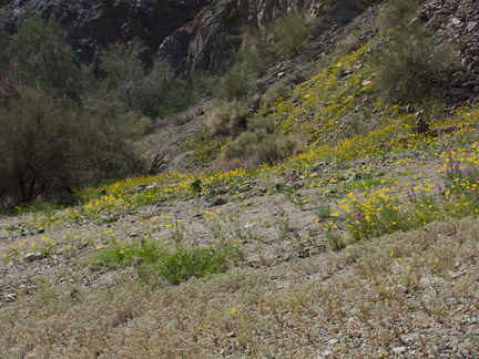 Eschscholzia-glyptosperma-and-other-wildflowers-Box-Canyon-Rd-S-of-Joshua-Tree-NP-2018-03-15-IMG 7570