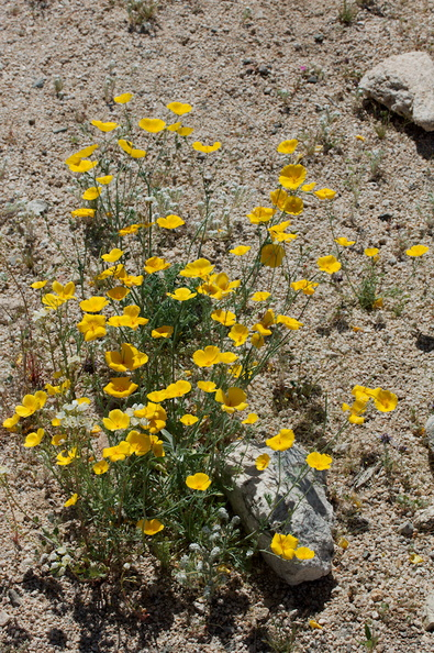 Eschscholzia-glyptosperma-desert-gold-poppy-Bajada-Nature-Trail-S-entrance-Joshua-Tree-NP-2017-03-14-IMG 3811