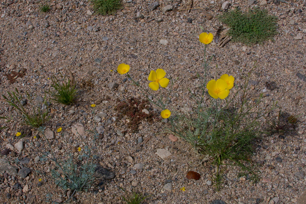 Eschscholzia-glyptosperma-desert-goldpoppy-Box-Canyon-Rd-S-of-Joshua-Tree-NP-2018-03-15-IMG 7557