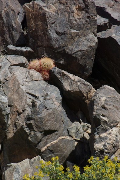 Ferocactus-cylindraceus-barrel-cactus-growing-between-rocks-Joshua-Tree-NP-2016-03-04-IMG_6518.jpg