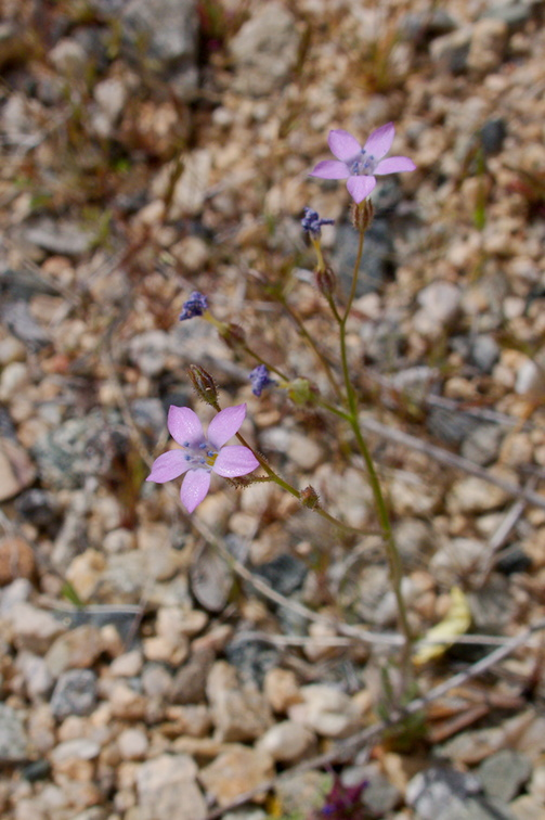Gilia-scopulorum-rock-gilia-Pinto-Basin-Rd-S-of-pass-Joshua-Tree-NP-2018-03-15-IMG 7471