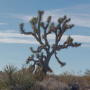Joshua-trees-in-the-landscape-Joshua-Tree-NP-2017-01-02-IMG 3708