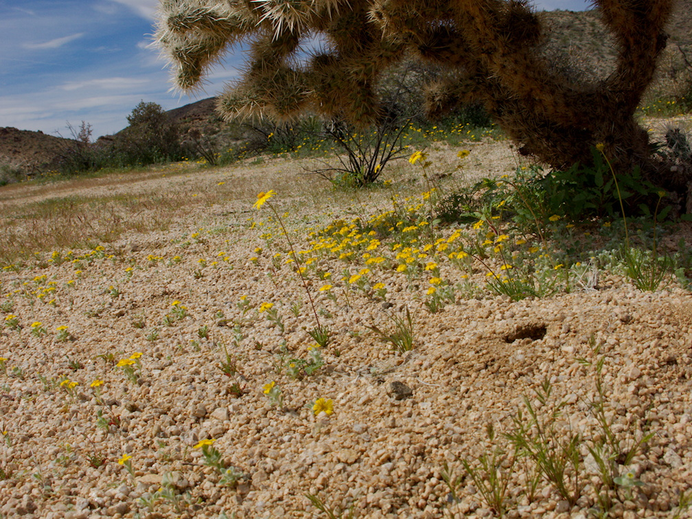 Leptosyne-californica-coreopsis-growing-under-silver-cholla-Pinto-Basin-Rd-S-of-pass-Joshua-Tree-NP-2018-03-15-IMG 7478