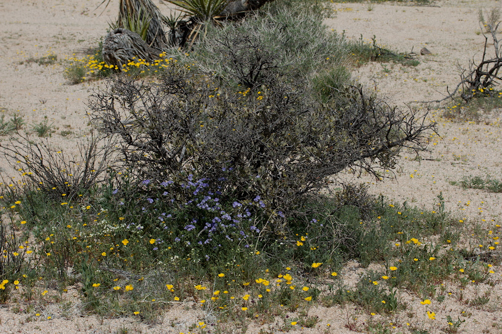 Leptosyne-californica-coreopsis-under-creosote-bush-Pinto-Basin-Rd-N-of-pass-Joshua-Tree-NP-2018-03-15-IMG 3957