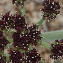 Lomatium-mohavense-desert-parsley-Barker-Dam-trail-Joshua-Tree-NP-2016-03-05-IMG 2920 v2