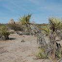 Yucca-schidigera-Mohave-yucca-mid-Joshua-Tree-NP-2017-01-02-IMG 3714