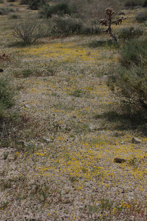 goldfields-carpeting-ground-at-Pinto-Mtn-area-2017-03-15-IMG 3969