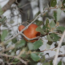 orange-gall-on-desert-scrub-oak-Barker-Dam-trail-Joshua-Tree-NP-2016-03-05-IMG 2928