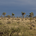 rainclouds-behind-sunlit-Joshua-trees-near-Sheeps-Pass-Joshua-Tree-NP-2016-03-05-IMG 6612