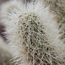 teddy-bear-cholla-pads-Cholla-Garden-Joshua-Tree-NP-2017-01-02-IMG 3699