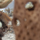 through-gaps-of-fibrous-structure-of-teddy-bear-cholla-Cholla-Garden-Joshua-Tree-NP-2017-01-02-IMG 3704