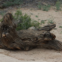 twisted-driftwood-log-Barker-Dam-trail-Joshua-Tree-NP-2016-03-05-IMG 2917