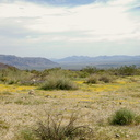 view-of-Pinto-Basin-from-slope-covered-in-wildflowers-S-of-pass-Joshua-Tree-NP-2018-03-15-IMG 7486