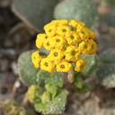 Abronia-latifolia-yellow-sand-verbena-Pfeiffer-Beach-Big-Sur-2012-01-02-IMG 3824