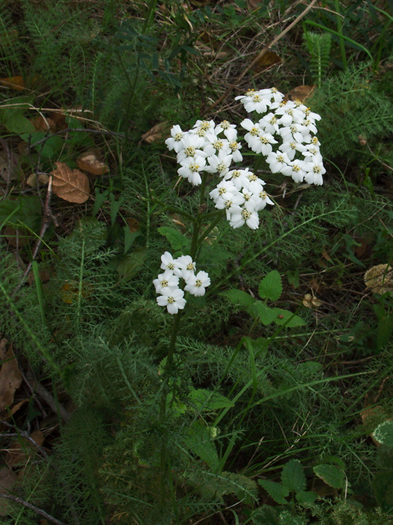 Achillea-millefolium-yarrow-Valley-View-trail-Pfeiffer-Big-Sur-2011-01-02-IMG 0373