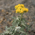 Asteraceae-indet-strand-cliff-plant-Pfeiffer-Beach-Big-Sur-2012-01-02-IMG 3840