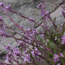 Cakile-maritima-European-sea-rocket-Pfeiffer-State-Beach-2013-03-02-IMG 0147